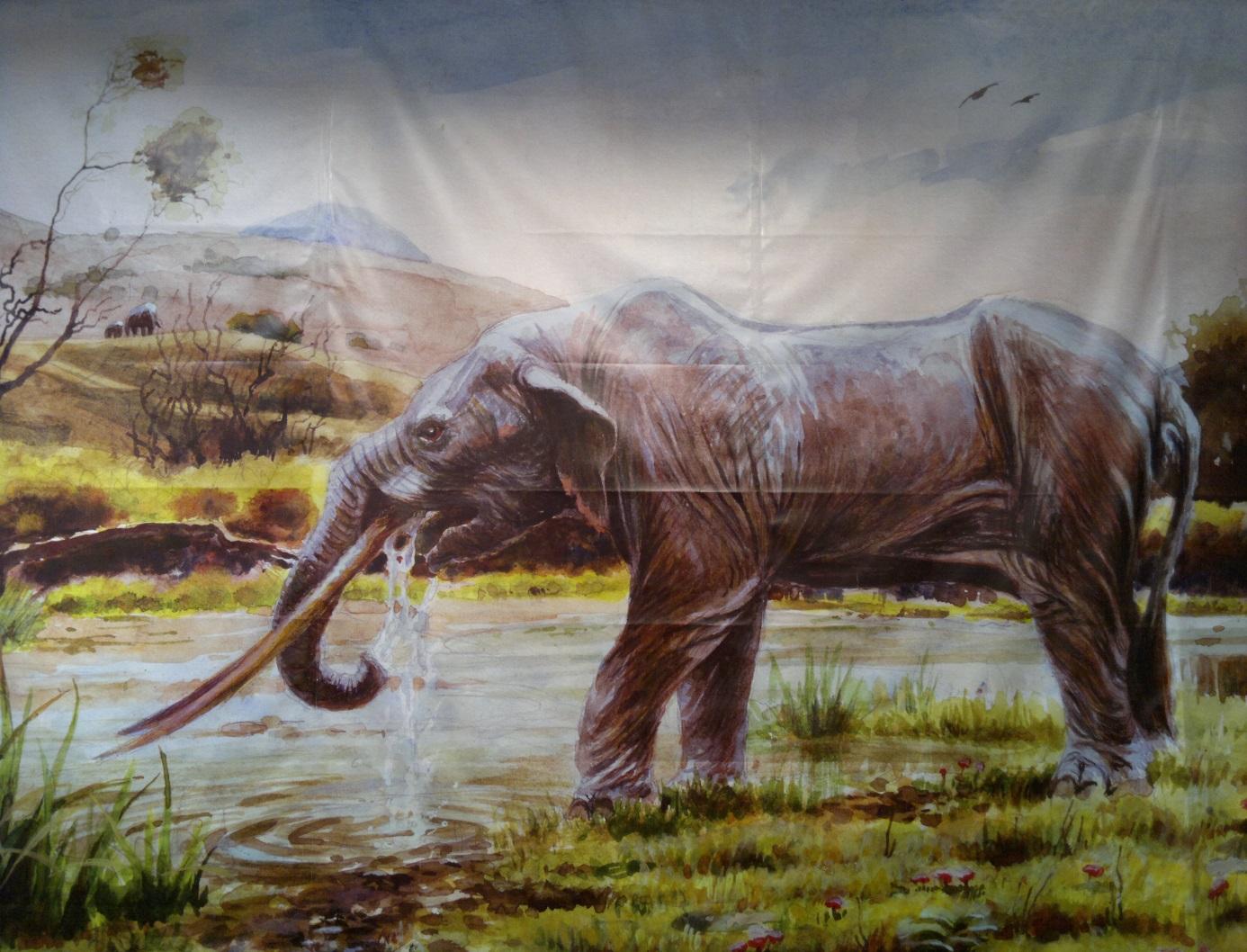5. A múzeumban látható a Baróthoz közeli Alsórákos külszíni lignitbányájában feltárt Masztodon (Anancus arvernensis) rekonstruált rajza